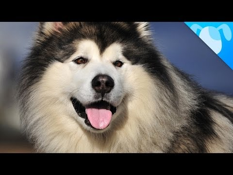 Alaskan Malamute Facts