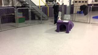 Puppy Training, Leash Walking, Foundation Heel - Sterling Heights, Mi