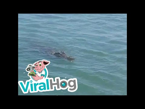 Fisherman Reels in Massive Crocodile || ViralHog