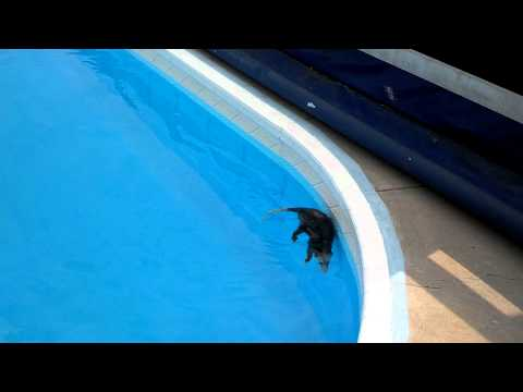Beagle Scares Possum into Playing Dead in the Swimming Pool