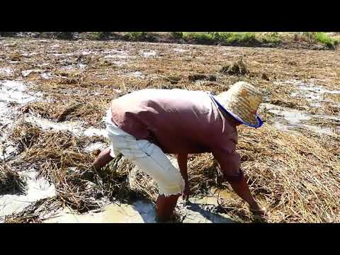 Wow Amazing Fishing!!! A Fisherman Catch Fish A Lot In Mud At Rice Field Catch By Hand Today