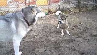 AKA, I am the Worst Dog Mom Ever TK, 6y/o Shikoku Ken annoys the ev...