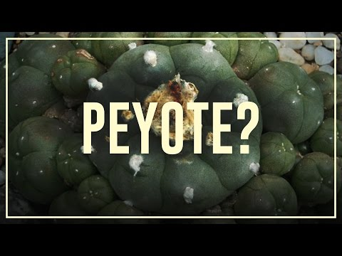 Peyote mescaline  Do's and don'ts  Drugslab