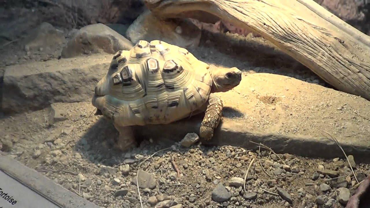snake lizards and tortoises at the living desert zoo youtube