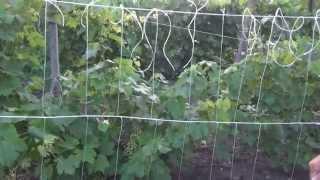 Подвязка огурцов в открытом грунте.