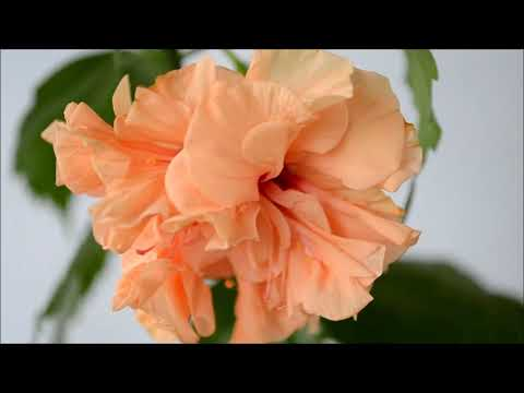 Гибискус махровый персиковый. Double Peach Hibiscus
