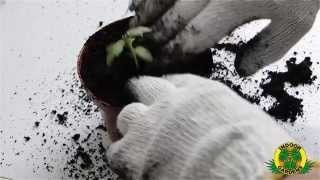 Producerea rasadurilor in pastile Jiffy