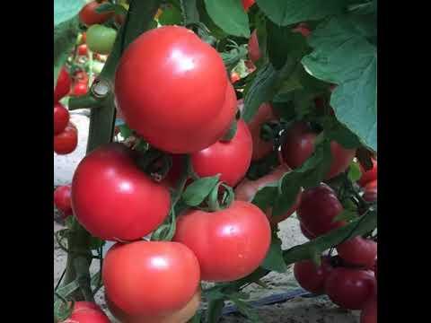 Сорт томат Розовая Катя f1 / описание томата РОЗОВАЯ КАТЯ