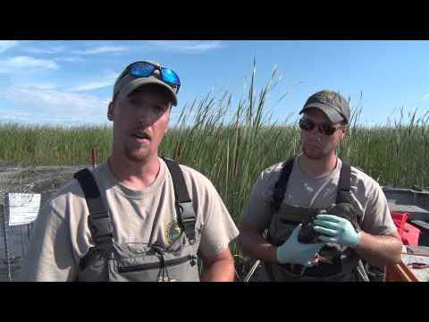 Discovering - Duck Banding With MI DNR