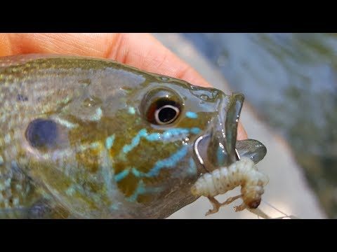 Wax Worm Fishing In Creeks With Bobbers- Bluegill And Panfish