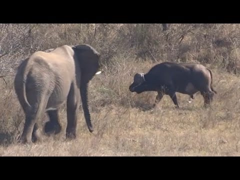 Elephant Gets Shown Who's Boss By A Buffalo - Latest Sightings