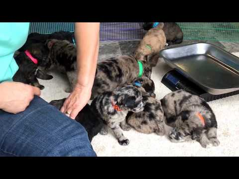 Mystice's standard schnoodle puppies 8-21-18