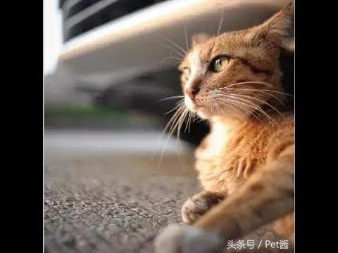 YTN 最纯正的土猫,中国狸花猫美到炸裂,不比折耳猫布偶猫差