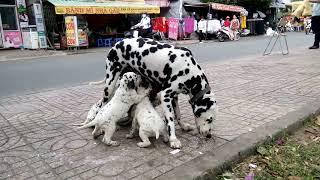 101 con chó đốm đi lạc ở sài gòn gây xôn xao dư luận / 101 stray dogs strayed in sai gon