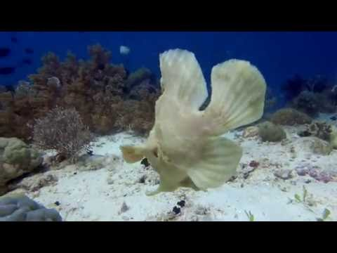 Giant Frogfish Swimming  - Crazy jet propulsion system
