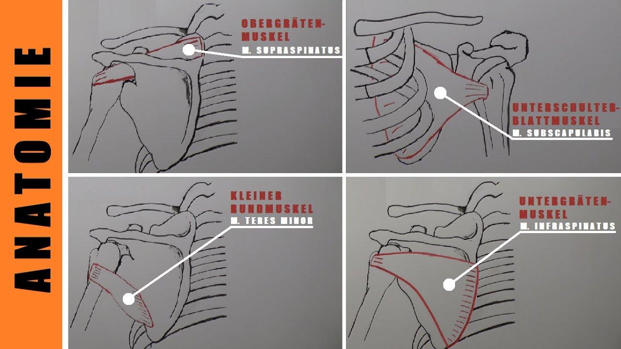 Aufwärmen Bankdrücken - Anatomie Rotatorenmanschette - Vorteile ...