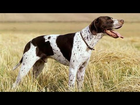 Noughty Pointer Dog funny video