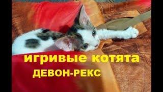 ✅ Активные котята девон-рекс