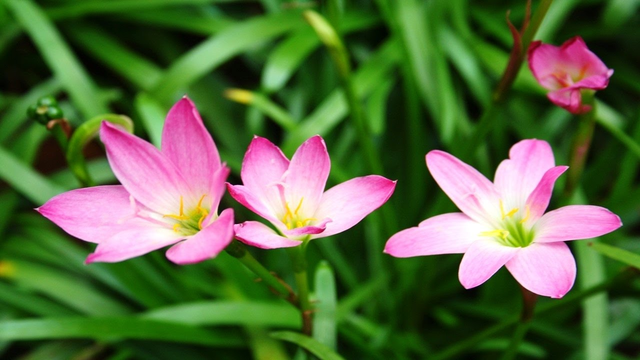 Top 10 Colorful Rain Lily Flower Ever You Seen Amazing Flowers