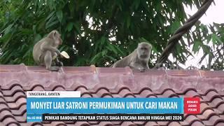 Monyet Liar Satroni Pemukiman  Redaksi Pagi 141219