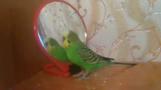 Веселое пение волнистого попугая
