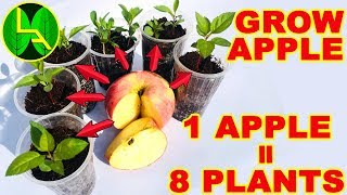 How to grow apple plants from seeds and  free plants for my subscribers.