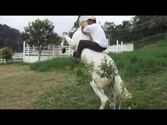 Cavalo Andaluz de nome Olivos adestrado para show horse.