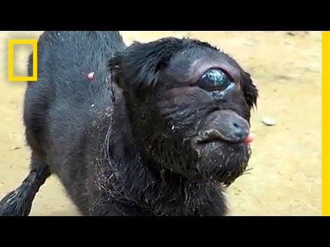 "Thumbnail: ""Cyclops"" Goat Born in India 