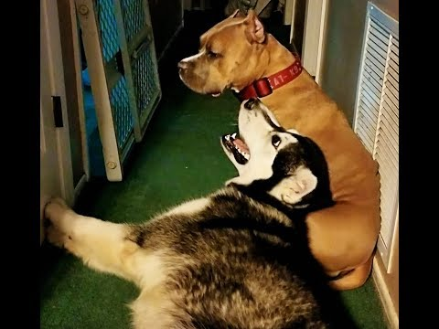 CUTEST Cuddles Sessions EVER! Malamute & PitBully Cuddle and Play!!!!!