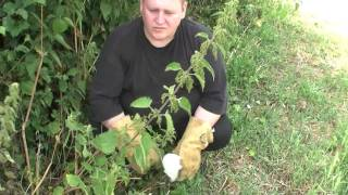 Urtica Dioica Nettle Tea (part 1) Urban Foraging.