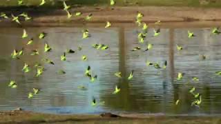 http://aaknaturewatch.com/blog/birdwaching/野生のセキセイインコ2018...