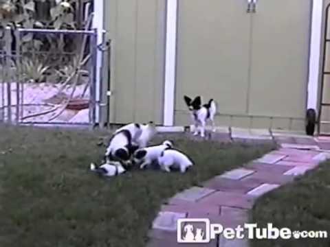 Puppy Tug-O-War- PetTube