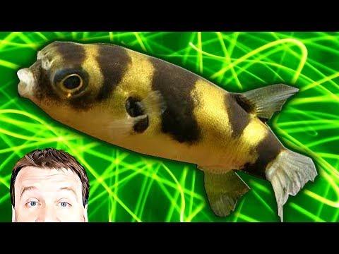 Tropical Fish - Amazon Puffer - The Freshwater Community Tank Puffer