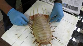Giant Isopod. Making a display specimen.