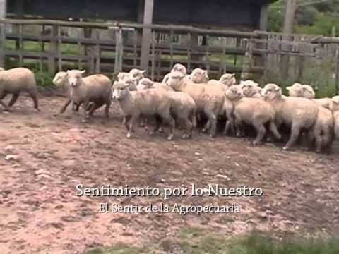 Demostración con perros de trabajo en ovinos
