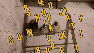 Vlog - wieczór u kur 🌛/ Straty 🐥😥