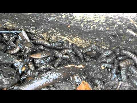 Gusanos en mi compost. Larvas de mosca soldado - Hermetia illucens