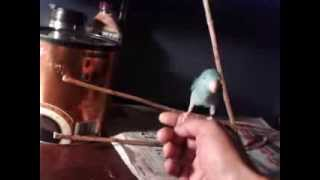 How to toilet/ potty train a baby parrotlet