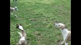 仔犬たちの同窓会での出来事 心配性のママが子犬たちに集合をかけた? T...