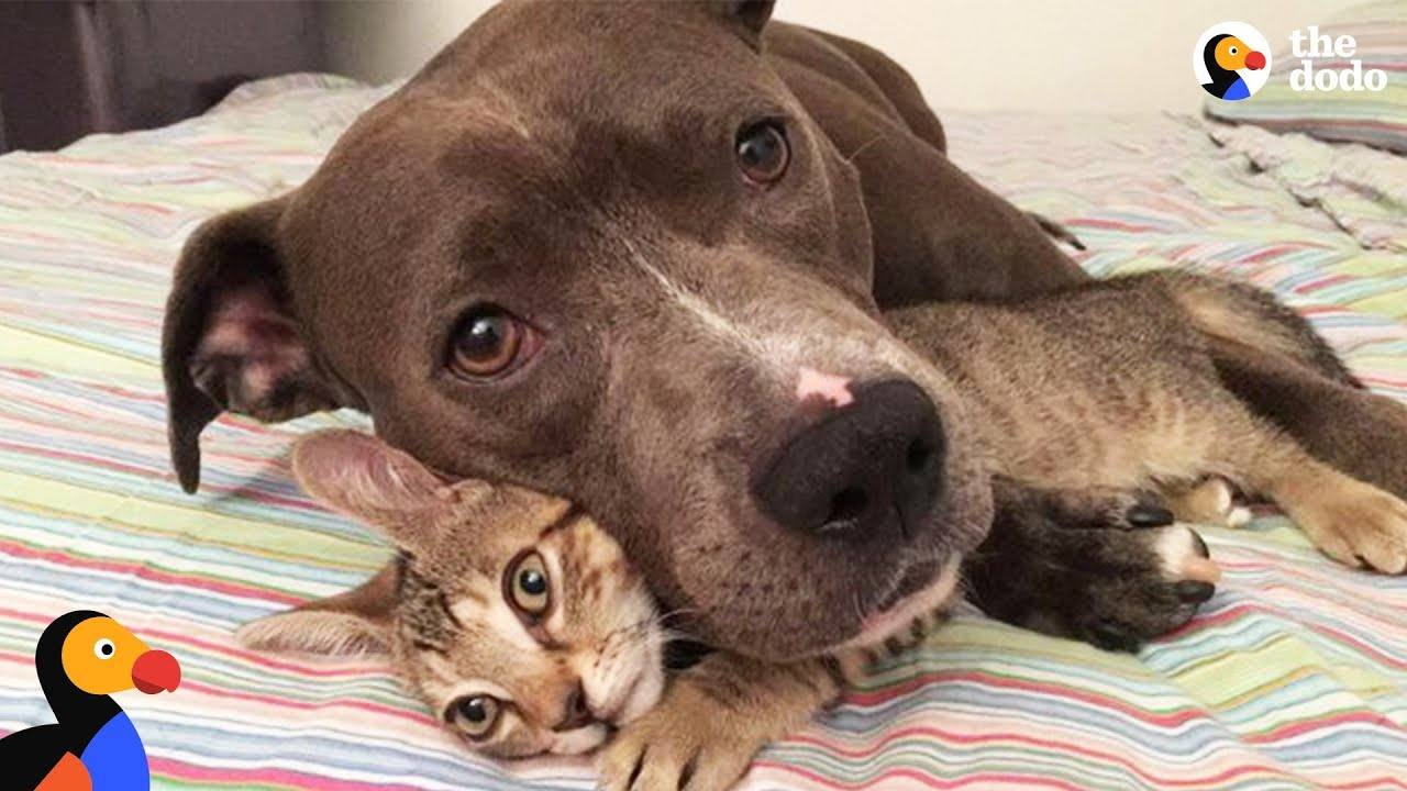 Pit Bull Dog, Cats, and Rats Siblings Make the Perfect Family | The Dodo