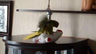 Горячий птичий секс от попугая какарика))