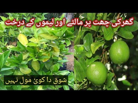 orange-tree&lemon-plant-garden-rooftop-garden-overview-||-fun-gardening-||-terrace-garden-tour