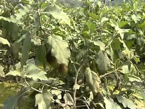IPM Technology in Vegetable Production, Savar, Dhaka,