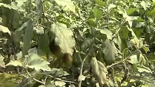 IPM Technology in Vegetable Production, Savar, Dhaka,