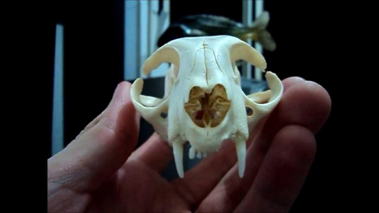 Ossos do crânio de um gato - YouTube