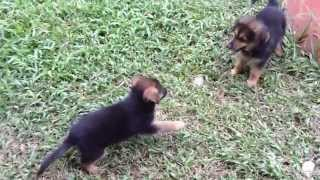 At 9 Weeks Old, The Golden Retriever/german Shepherd Mix Puppies Love To Play(dumaguete City)