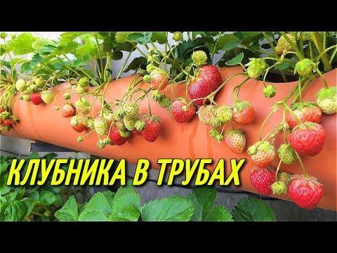 КЛУБНИКА В ТРУБАХ/Урожай клубники.