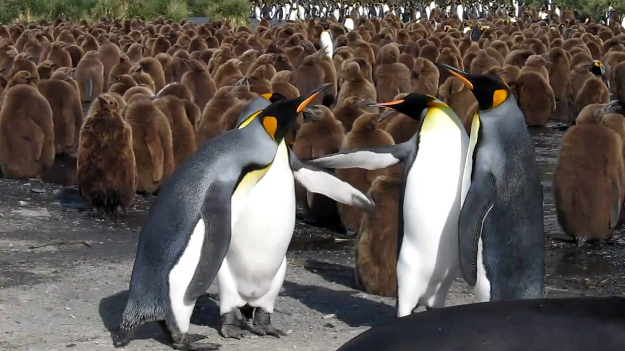 King Penguin Vs Emperor Penguin | www.pixshark.com ...