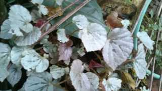 Rex Begonia with silver color leaves