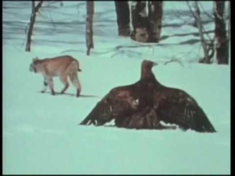 FIGHT CLUB DEGLI ANIMALI: FELINI VS RAPACI -- MUSTELIDI VS RETTILI